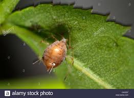 Christmas Tree Has Aphids by Aphid Aphids Stock Photos U0026 Aphid Aphids Stock Images Page 9 Alamy