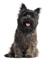Tiny Non Shedding Dog Breeds by Cairn Terrier