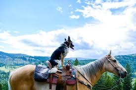 Blue Heeler Shedding In Winter dog people bri lakota wildlandia