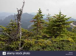 Balsam Christmas Tree Australia by Balsam Fir Trees Stock Photos U0026 Balsam Fir Trees Stock Images Alamy