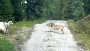 un loup attaque une brebis