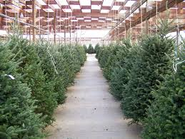 Pine Cone Christmas Trees For Sale by How To Pick The Right Christmas Tree For You Inverse