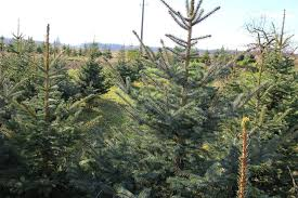 Christmas Tree Species Name by Top 4 Tree Types For Christmas Angie U0027s List