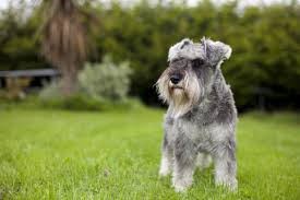 Tiny Non Shedding Dog Breeds by A List Of Small Dogs That Don U0027t Shed Unbelievable But True