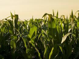 Pumpkin Patch Bakersfield California by Best Corn Mazes Near Los Angeles Cbs Los Angeles