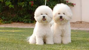 Tiny Non Shedding Dog Breeds by 10 New Non Allergenic Dog Breeds