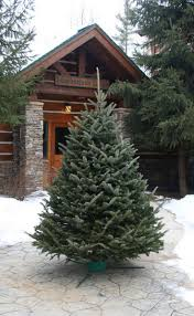 Puleo Christmas Tree Instructions by The 25 Best Fraser Fir Christmas Tree Ideas On Pinterest Balsam
