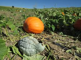 Free Pumpkin Patches In Colorado Springs by Vala U0027s Pumpkin Patch Offers Fun For All Ages The Walking Tourists