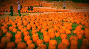 Pumpkin Fest Highwood by Cal Poly Pumpkin Festival 2015 Youtube