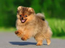 Tiny Non Shedding Dog Breeds by The Dog Breeds That Live The Longest Business Insider