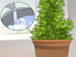 Christmas Tree Species Name by How To Grow Your Own Christmas Tree With Pictures Wikihow