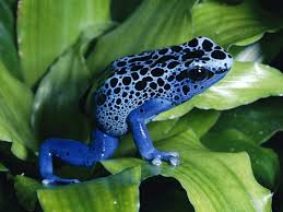 African Dwarf Frog Shedding Behavior by May 2011 Planetanimalzone