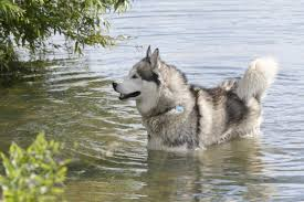 Blue Heeler Shedding In Winter by Incredible Facts About Alaskan Malamutes You Won U0027t Want To Forget