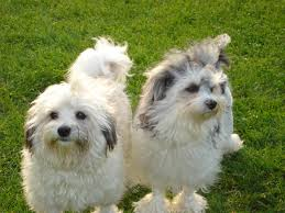Tiny Non Shedding Dog Breeds by Lowchen