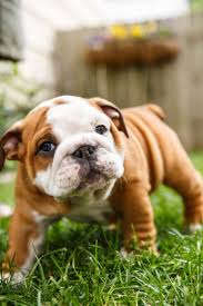 Tiny Non Shedding Dog Breeds by Best 20 Small Dog Breeds Ideas On Pinterest Small Puppy Breeds