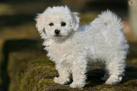 Tiny Non Shedding Dog Breeds by Bichon Frise Dog Breed Information Buying Advice Photos And
