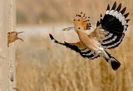 طائر الهدهد images?q=tbn:ANd9GcT