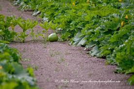Pumpkin Patch Spokane Valley Wa by Colder Summer U003d Small Green Pumpkins U2013 The View From Right Here