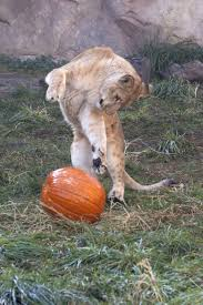 Toledo Zoo Halloween by Happy Halloween From Zooborns Zooborns