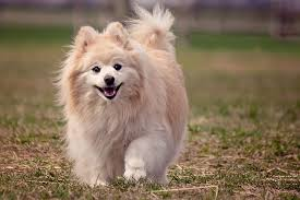 Tiny Non Shedding Dog Breeds by Small Breed Dogs Which Is Best For You Mini Husky Lovers