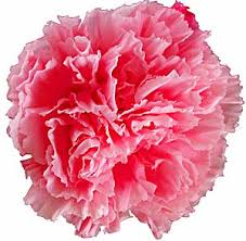 carnation pink w